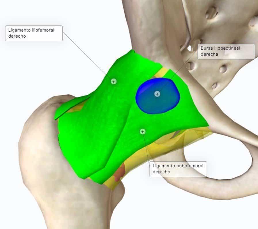 anatomia articulacion coxofemoral