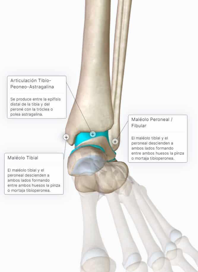 articulación tibioperoneoastragalina