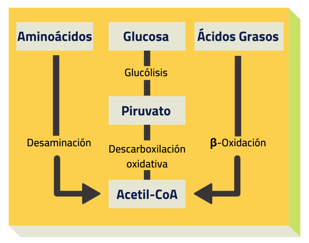 metabolismo glucidos