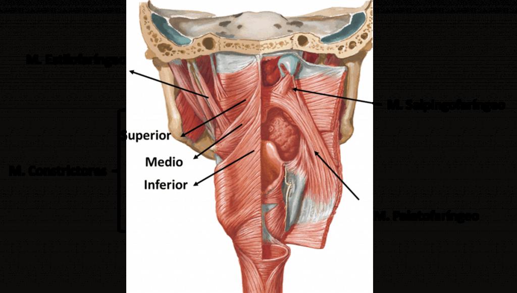 musculatura de la laringe