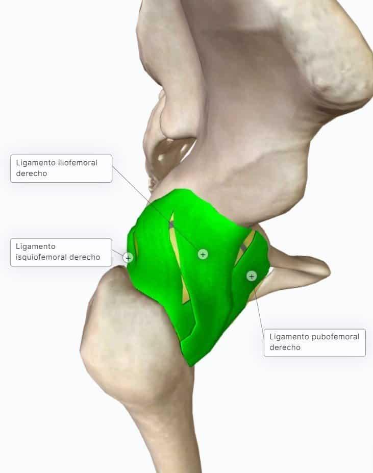 ligamentos articulacion coxofemoral