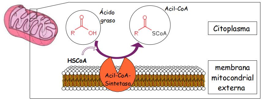 activacion acidos grasos