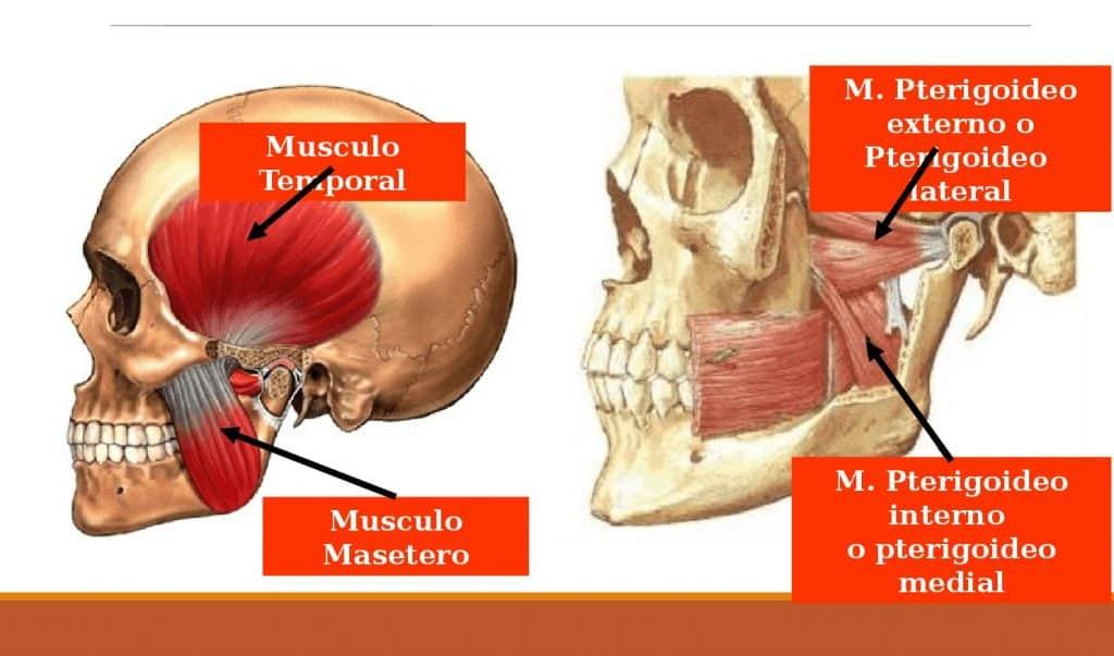 músculos de la mandíbula