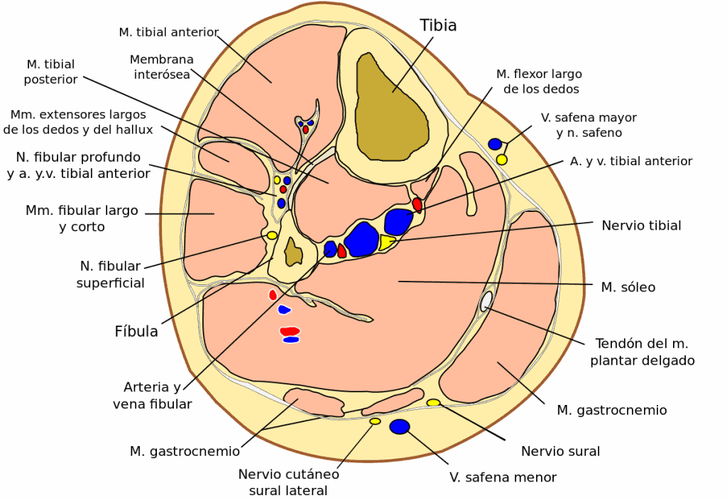 arteria fibular