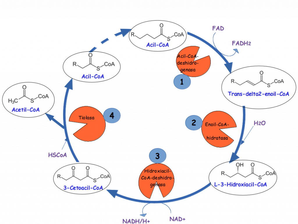 esquema beta oxidacion