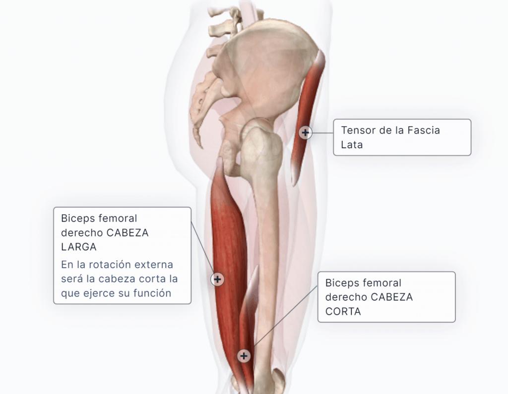 Músculos rotadores externos de la pierna