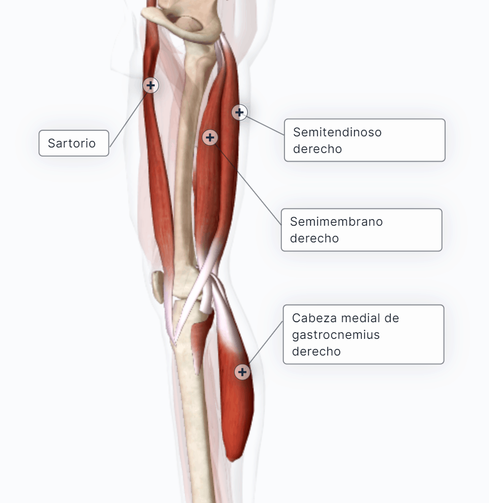 Músculos flexores de la pierna