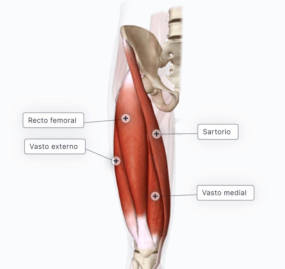 extensores de la pierna