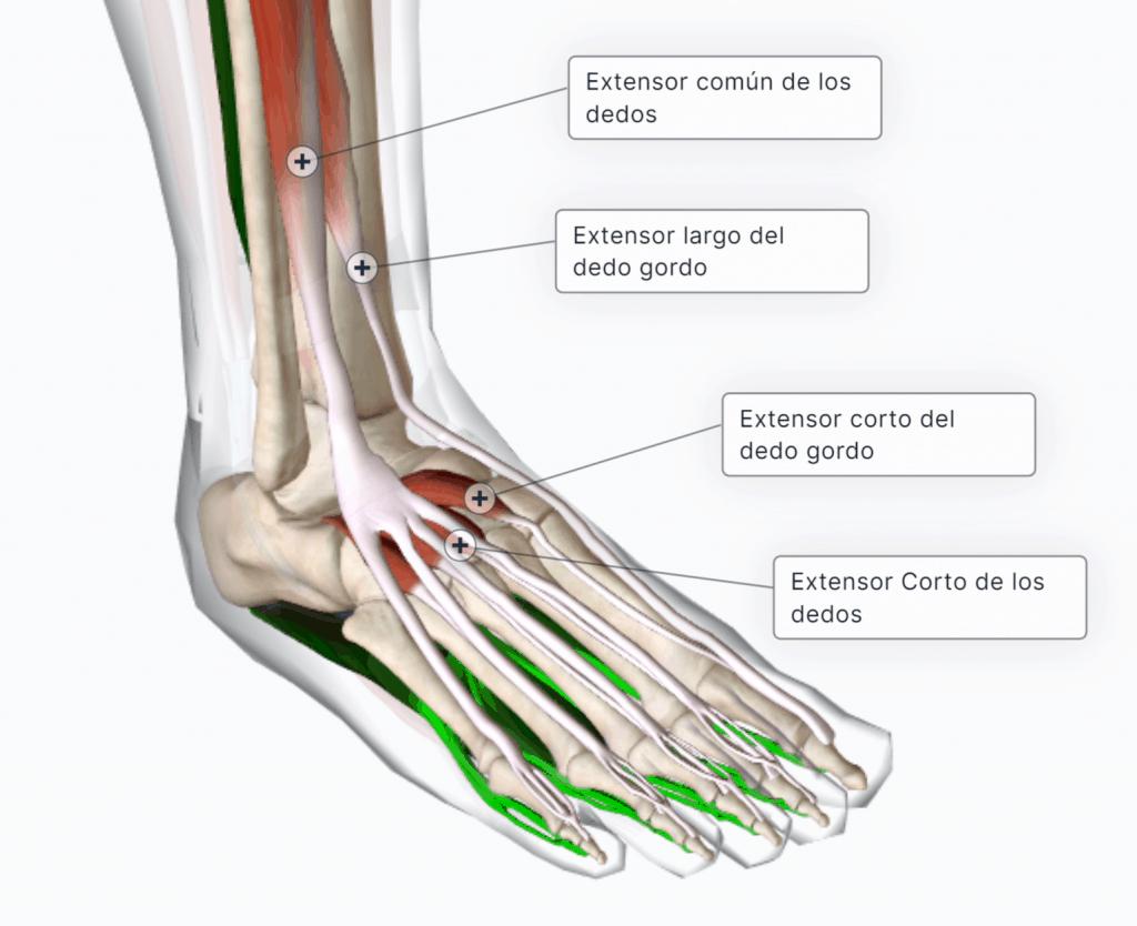 musculos extensores del pie