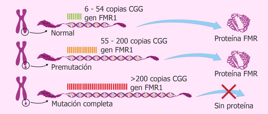 x fragil FMR1